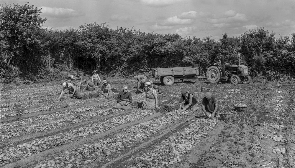 ramassage pommes de terre sizun 6