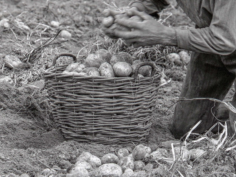 7c-ramassage pommes de terre 7